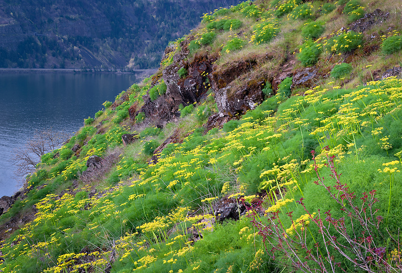 Pungent Desert Parsley (Lomatium grayi) and the Columbia River. Columbia River Gorge National Scenic Area, Washington