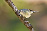590640006 a wild male plumbeous vireo vireo plumbeous perches on a tree limb on mount lemmon tucson arizona united states