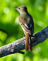 Juvenile great crested flycatcher