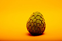 London, UK. 13.04.2021. Annona Reticulata (Custard Apple), looking like a dragon's egg, on a yellow background. Photograph © Jane Hobson.