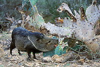 Collard Peccary eating cactus in American Southwest.