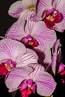 Four Phalaenopsis or Moth Orchid flowers