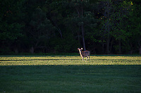 Alert deer in a field.