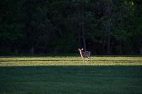 Alert deer in a field.