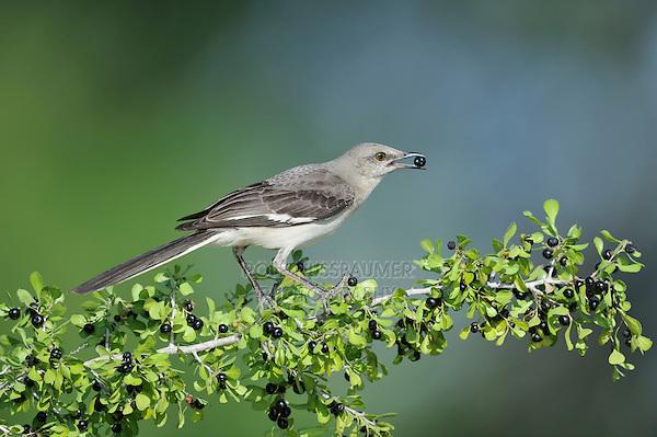 Northern Mockingbird (Mimus polyglottos), adult eating berries, Dinero, Lake Corpus Christi, South Texas, USA