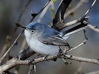 Blue-gray Gnatcatcher, South Llano River State Park, Junction, TX