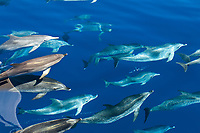 Spotted dolphin (stenella frontalis) Bowriding spotted dolphins. Azores.
