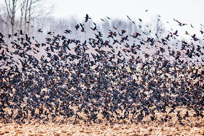 Red-Winged Blackbirds (Agelaius phoeniceus) in winter