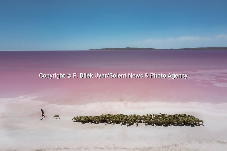 Shepherds tends to their flock as they pass a magnificent pink-coloured lake.  The sheep closely follow them as they lead the animals to nearby hills where they will graze.<br /> <br /> Photographer F. Dilek Uyar captured the shots using a drone at Lake Tuz, in Ankara, Turkey, which gets its seasonal pink hue from algae in the water.  SEE OUR COPY FOR DETAILS.<br /> <br /> Please byline: F. Dilek Uyar/Solent News<br /> <br /> © F. Dilek Uyar/Solent News & Photo Agency<br /> UK +44 (0) 2380 458800