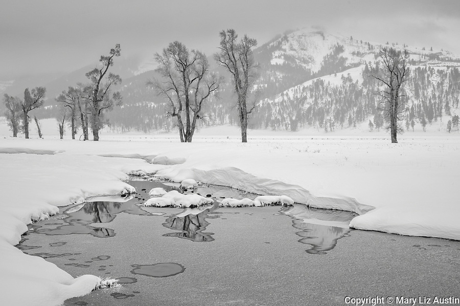 Yellowstone National Park, Wyoming: Cottonwood trees reflecting in the Lamar River in winter