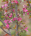 Flowering crab apple tree in northern Wisconsin.