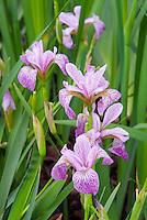 Iris sibirica x setosa 'Sibtosa Princess' SpH pink lavender stripe
