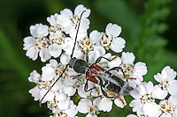 Dunkler Zierbock, Dunkeler Zierbock, Geheimnisvolle Zierbock, Blütenbesuch, Anaglyptus mysticus, Callidium mysticum, Leptura mystica, Stenocorus germaniae, Rufous-shouldered longhorn beetle, Mysterious wallpaper beetle