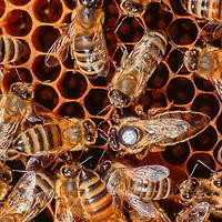 Honey bees (Apis mellifera) with queen bee on honeycomb, bee, queen bee
