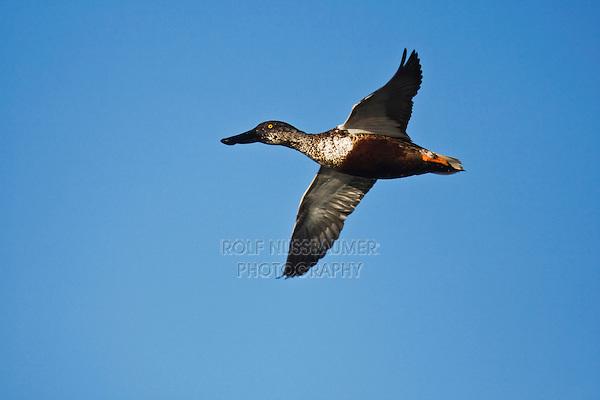 Northern Shoveler (Anas clypeata), male in flight, Sinton, Corpus Christi, Coastal Bend, Texas, USA
