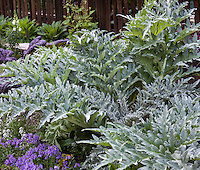 Silver gray foliage of artichokes in raised bed; Rosalind Creasy edible landscape garden