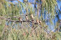 Chestnut-Breasted Mannikin, Lee Point, Darwin, NT, Australia