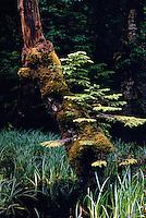 Haida Gwaii (Queen Charlotte Islands), Northern BC, British Columbia, Canada - Moss Covered Nursing Tree in Temperate Rainforest on Graham Island