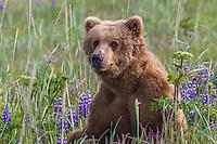 Alaska_Bear Photo Grizzly Bear or brown bear alaska Alaska Brown bears also known as Costal Grizzlies or grizzly bears Grizzly Bear Photos, Alaska Brown Bear with cubs. Purchase grizzly bear fine art limited edition prints here Grizzly Bear Photo Bear Photos,