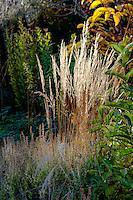 Calamagrostis x acutiflora 'Overdam' - Variegated Reed Grass catching autumn sunlight Gary Ratway mixed border garden