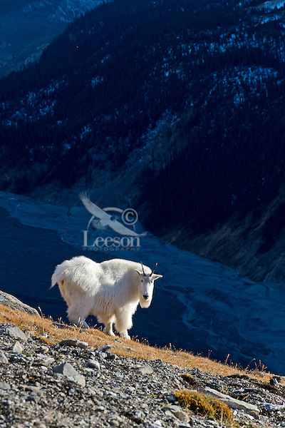 Mountain Goat billy (Oreamnos americanus) standing above glacieral braided river.  Northern Rockies.  October.
