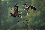 Eagles pictured in fierce battle by Alexandre & Chloé Bès/Naturagency