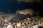 Eastern Brook Trout Spawning, male in background, female, foreground