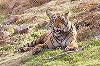 Tiger in Ranthambhore Tiger Reserve, Sawai Madhepur, Rajasthan, India