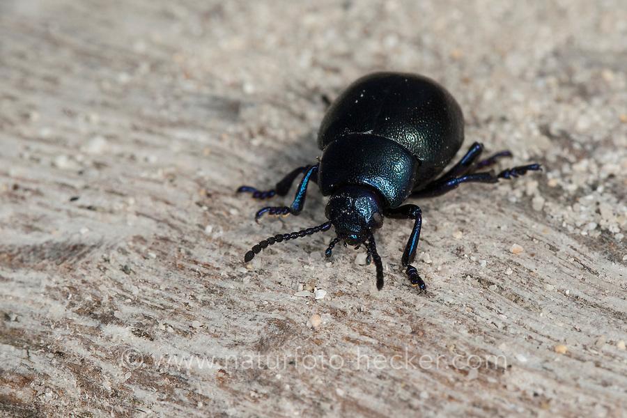 Tatzenkäfer, Blattkäfer, Timarcha spec., blood spewer, blood spewing beetle