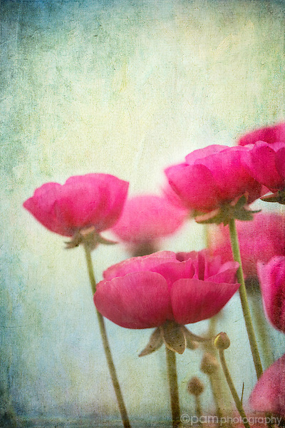 Pink ranunculus flowers against a textured blue and green background