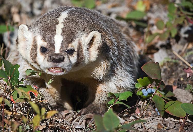 Badger snarling outside of den. - CA