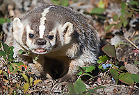 Badger snarling outside of den. - CA