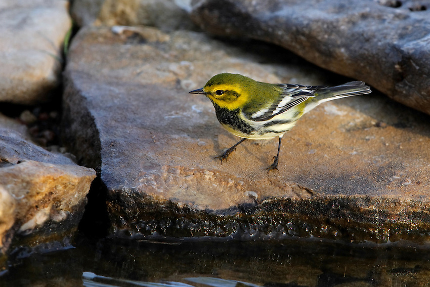 """An abundant breeder of the northeastern coniferous forests, the Black-throated Green Warbler is easy to recognize by sight and sound. Its dark black bib and bright yellow face are unique amongst Eastern birds, and its persistent song of """"zoo-zee, zoo-zoo-zee"""" is easy to remember."""