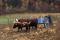 Sturbridge, Massachusetts, A team of oxen are pulling a cart while the interpreter works in the garden hauling hay at the Freeman Farm in the Old Sturbridge Village.