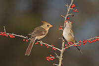 Northern Cardinal (Cardinalis cardinalis), female and White-crowned Sparrow (Zonotrichia leucophrys) eating Possum Haw Holly (Ilex decidua) berries, Bandera, Hill Country, Texas, USA