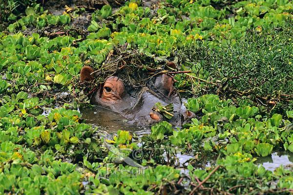 Common Hippopotamus (Hippopotamus amphibius),  Africa.