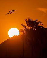 Pelicans fly as the sun sets behind a hill and palm tree at sunset in Bahia Kino in Sonora, Mexico (Photo: Luis Gutierrez / NortePhoto.com).<br /> <br /> pelicanos vuelan mientras el sol se esconde al atardecer tras cerro y palmera en bahia Kino en Sonora, Mexico.(Photo: Luis Gutierrez / NortePhoto.com).