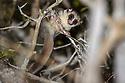 Fat-tailed dwarf lemur (Cheirogaleus medius). Anjajavy forests, north western Madagascar.