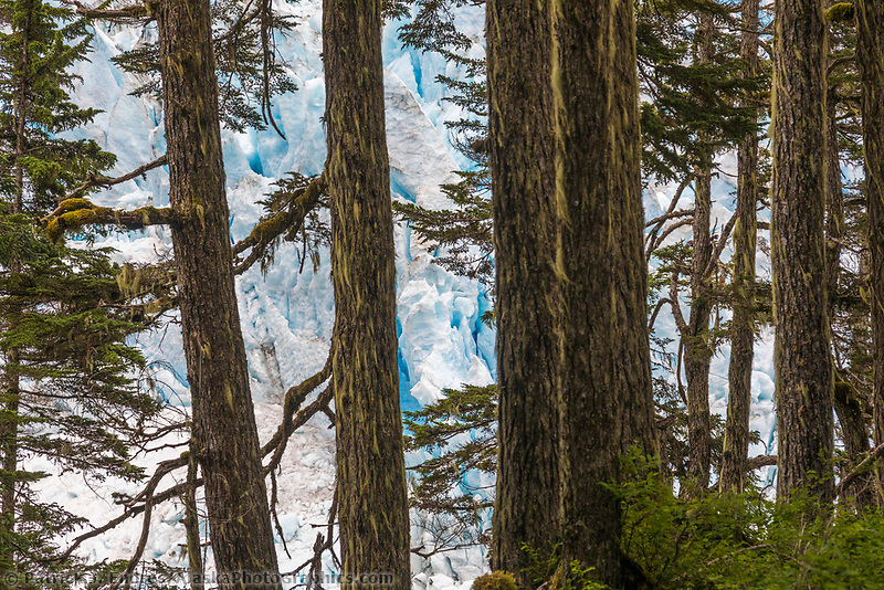 Forest & Ice peering through the temperate rainforest of Prince William Sound at the terminus of a tidewater glacier.