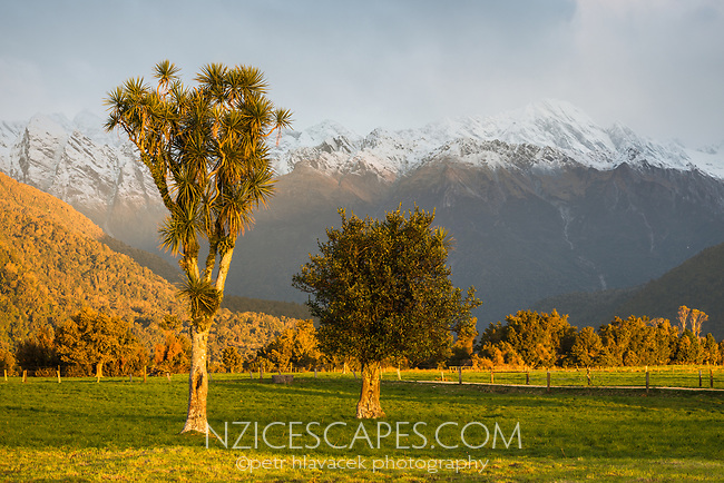 Sunset on farm with cabbage tree in Whataroa, West Coast, South Westland, New Zealand, NZ