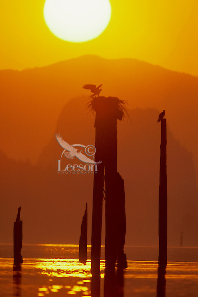 Osprey at nest on old piling in Columbia River Gorge at sunrise.  Pacific Northwest.  Spring.