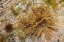 Snakelocks Anemone {Anemonia viridis} brown morph, in rock pool at low tide. Iona, Isle of Mull, Scotland, UK. June.