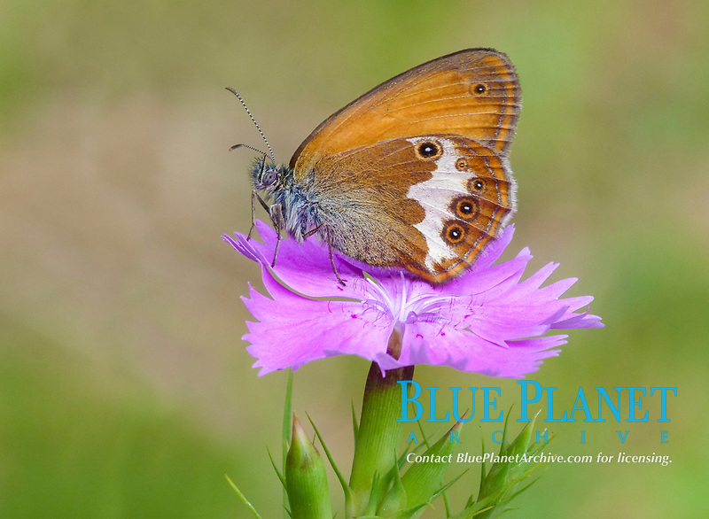 Pearly Heath (Coenonympha arcania), Adult perched on Maiden Pink (Dianthus deltoides), Cannobina Valle, Piedmont, Italian Alps, Italy, Europe