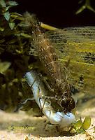 1O09-003e  Mosaic Darner Dragonfly Nymph eating salamander prey - Aeshna spp.