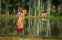 INDIA Karnataka Taccode, women harvest paddy manual with sickle at a farm near Mangalore / INDIEN Frauen ernten Reis mit einer Sichel auf einem Bauernhof