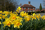 Great Britain, England, East Sussex, Dallington: Spring Daffodils with typical Sussex farmhouse in background