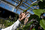 October 12, 2007, Raleigh, NC.. Professor Vincent Chiang, director of the project, handles a leaf from a   6 to 7 month old black cottonwood used in the experiment...Greenhouses at the Department of Forest Biotechnology at North Carolina State University are being used to grow trees with lower lignin levels to be better used for future bio-fuel technologies.