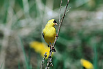 American Goldfinch perched on a dead piece of brush.