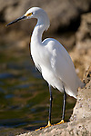 Ding Darling National Wildlife Refuge, Sanibel Island, Florida; a Snowy Egret (Egretta thula) bird stands perched at the water's edge in search of food © Matthew Meier Photography, matthewmeierphoto.com All Rights Reserved