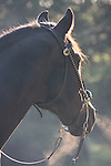 A bridled horse breathing in the cool morning light